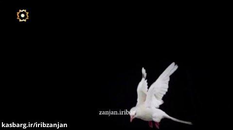 نماهنگ کبوتر پر کشید و رفت