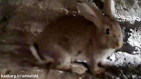 خانواده خرگوش های کوهی