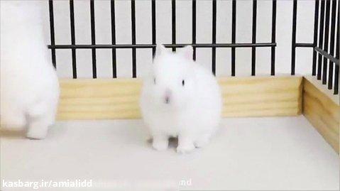 خرگوش سفید کرمی
